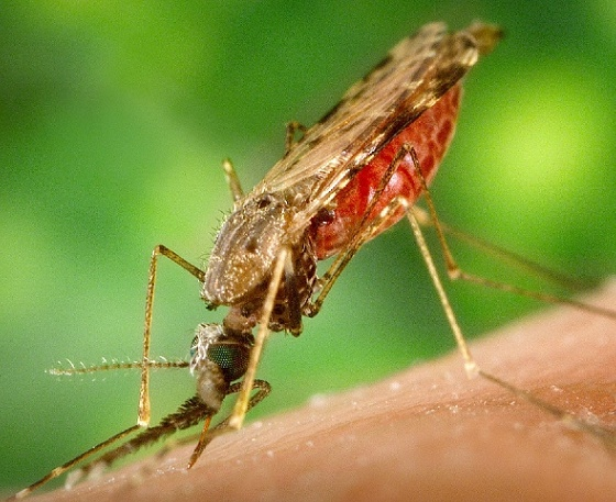 High number of Cape Cod mosquitoes with West Nile virus