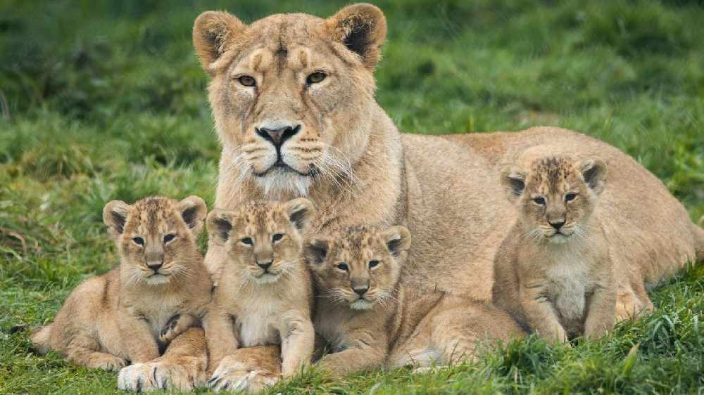 Fota Wildlife Park Announce Birth Of Four Lion Cubs And They Want You To Name Them!