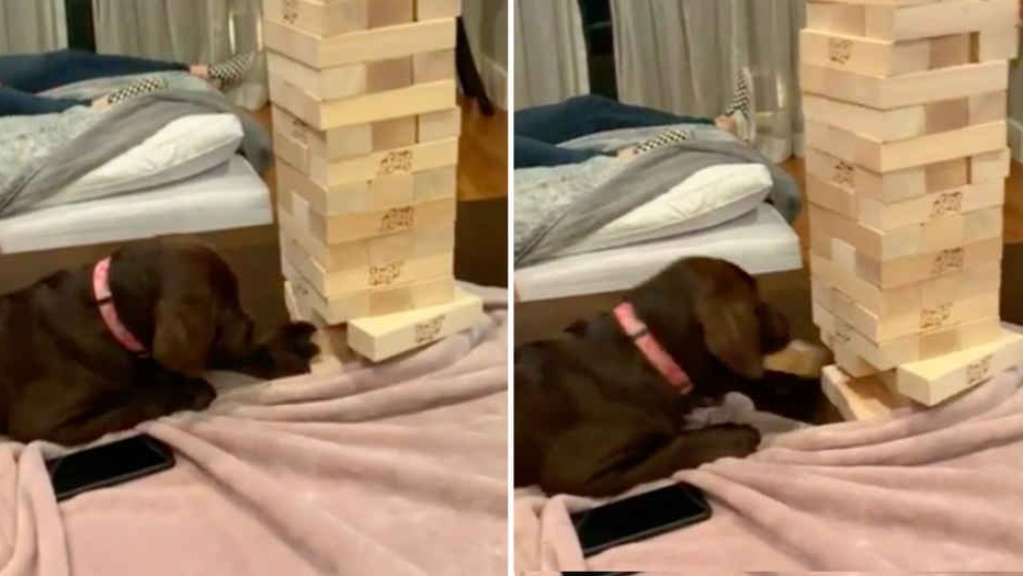 WATCH: This Dog Is Better At Jenga Than You! 😆