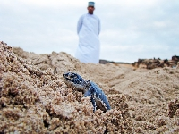 Baby Turtles Hatch at the Shangri-La Barr Al Jissah!