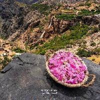AL Jabal Akhdar Rose Season - Haitham Al Farsi