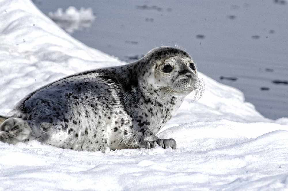 Environmental group sues over ice seal habitat decision - KINY