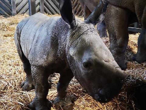 White Rhino (COLCHESTER ZOO)