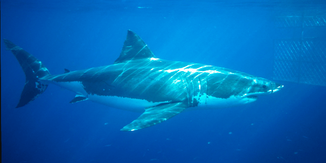 Researchers say 5500 great white sharks lurk off Australia's east coast