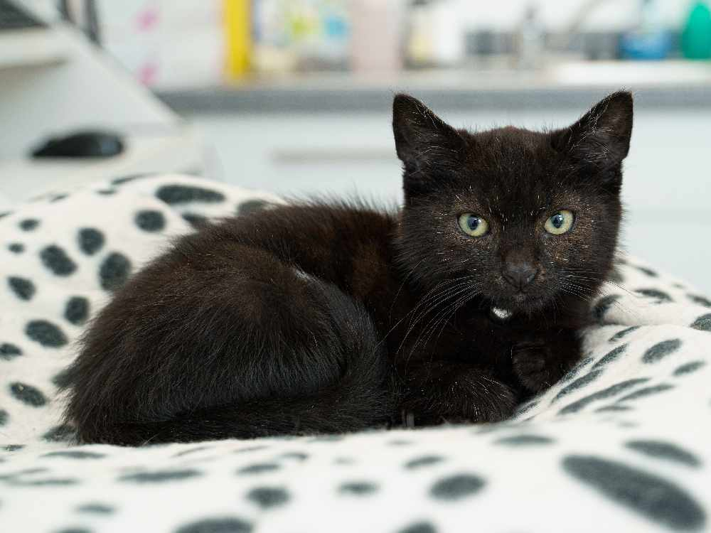 Zazu the kitten inspires Tameside Vets' new charity fund